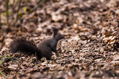 Where are my nuts? (_ME_photography) Tags: park leaves animal canon germany munich mnchen bayern deutschland bavaria eos leaf squirrel laub sp 300 nut spencer tamron 70 wald bltter vc baum fell usd eichhrnchen lightroom vulgaris eichel nsse hrnchen sciuridae nuss 600d sciurus schweif teleobjektiv sciurinae luitpoldpark oachkatzl sciuromorpha lr5 oachkatzlschwoaf sciurini