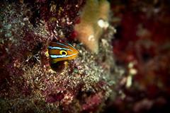FLA-160202-ND800-6916 (ferlopez) Tags: usa fish underwater marinelife makena blenny mauihawaii plagiotremusewaensis ewafangblenny