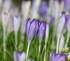 crocus (bugman11) Tags: flowers flower macro nature petals flora nikon purple bokeh nederland thenetherlands crocus 1001nights bloemen krokus autofocus 1001nightsmagiccity