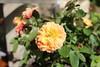 IMG_0150 (josegabriel.navarro) Tags: floral closeup close natureza flor rosa rosal florido florzinha pétalas canteiro rosaamarela coresquentes naturezaviva roseiral plantaornamental rosalaranja perfumenatural rosaanã