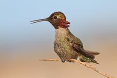 Anna's Hummingbird (bmse) Tags: canon pose chica hummingbird 7d l f56 bolsa annas salah 400mm wingsinmotion bmse baazizi