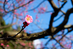 Flower of one plum (sonica@2006) Tags: pink light flower japan one bokeh plum it fujifilm shizuoka izu colder bloomed xm1 admirably splendidly xf35mm