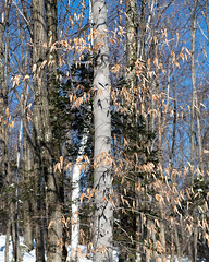 Fagus grandifolia (American Beech) (Plant Image Library) Tags: new trees winter england plants nature ecology mt with 7 hampshire foliage american february juvenile beech monadnock boreal fagus grandifolia 2016 retained