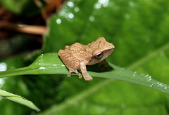 Tiny Froglet (cowyeow) Tags: travel baby india nature leaves forest asian leaf nationalpark asia branch wildlife indian small young amphibian frog tiny delicate herp froglet westernghats ghats herpetology agumbe herping shrubfrog agumberainforestresearchstation rainforestresearchstation pseudophilatus