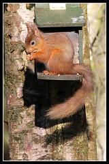 IMG_0469 Red Squirrel (Scotchjohnnie) Tags: nature mammal rodent squirrel wildlife northumberland wildanimal nationaltrust redsquirrel sciurusvulgaris northeastengland wallingtonhall