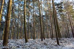 Snowy pine forest (bmpala2) Tags: wood light sun snow tree pine forest landscape nikon scots pinus sylvestris d7100