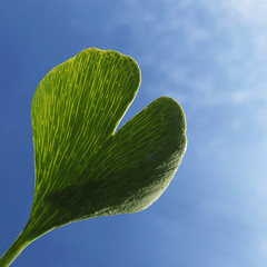 Ginkgo Heart - Happy Valentine's Day ! (Batikart) Tags: autumn sky cloud plant macro art love nature closeup canon germany square geotagged creativity deutschland leaf europa europe heart natur pflanze himmel wolke valentine september textures 100 grün blau minimalism shape makro ursula blatt herz liebe valentinesday nahaufnahme heartshape sander g11 valentinstag fellbach 2016 200faves herzform 300faves batikart canonpowershotg11