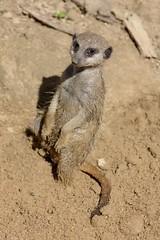 The meerkat (dididumm) Tags: sunshine meerkat suricate sonnenschein suricatasuricatta erdmnnchen ifiranthezoo scharrtier