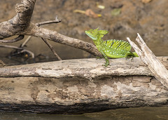 Juvenile Green Iguana (Photo Kubitza) Tags: winter vacation brown green geotagged costarica waiting sitting outdoor lizard iguana perched midday geotag alajuela naturephotography heredia riofrio travelphotography greeniguana canonegro loschiles