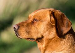 Gun dog at sunset. (Explored 11/02/16) (muppet1970) Tags: sunset dog pet animal working gundog