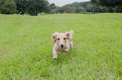 IMG_3116 (yukichinoko) Tags: dog dachshund 犬 kinako ダックスフント ダックスフンド きなこ