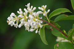 Rosacees Epine noire  Prunus spinosa (designollebrigitte) Tags: fleur prunus noire sauvage spinosa epine rosacees