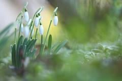 perce neige. (poun'ish) Tags: fleur neige perce