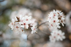 Auto Revuenon 50mm f/1.4 quinto de los molinos (Jonathan_in_Madrid) Tags: fujifilmxm1 autorevuenon50mmf14 madrid 2016 blossom flowers parquequintadelosmolinos