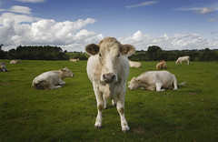 Cometh the hour (Blasketblue) Tags: ireland cow cattle meath canoneos400d