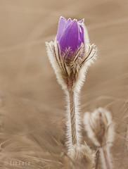Szépség (www.instagram.com/lizfoto_le_foto_di_liza) Tags: plant love nature canon nice furry hungary purple bokeh pastel serene természet tavasz virág pulsatilla 2016 niceflower bristly kökörcsin leánykökörcsin zöldövezet védett pulsatillagrandis védettvirág