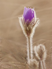 Szpsg (LizFoto27) Tags: plant love nature canon nice furry hungary purple bokeh pastel serene termszet tavasz virg pulsatilla 2016 niceflower bristly kkrcsin lenykkrcsin zldvezet vdett pulsatillagrandis vdettvirg