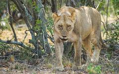 The lioness walking (TimoOK) Tags: africa female southafrica lion lioness naturepark kruger naaras afrikka leijona luonnonpuisto eteläafrikka