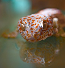 Gecko eyes ! (through glass!) (Kez West) Tags: eyes reptile gecko leopardgecko heom