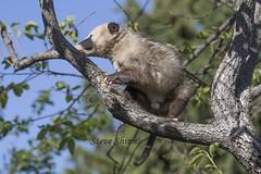 Virginia Opossum AKA Possum in Southern California.  Male showing testicles (Steve Shinn) Tags: california wild possum tree male sex virginia daylight opossum day live southern climbing testicles showing organs external