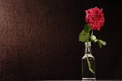 _K3G0118 (julioleite) Tags: flower nature rose canon studio eos still mark natureza flor estudio ii 1d usm speedlight ef f3545 2485 yongnuo