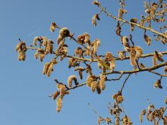 Zitterpappel-Ktzchen (Jrg Paul Kaspari) Tags: flower spring flowering catkin aspen blte trier frhling ktzchen catkins espe populus tremula populustremula zitterpappel pappelblte pappelktzchen poppeln avelertal