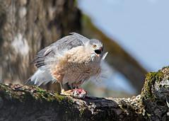 Épervier - Hawk (Anthony Fontaine photographe animalier) Tags: 400mm f28 tc17ii nikkor oiesaux de proie rapaces raptors nature photographie wild life sauvage animaux nikon