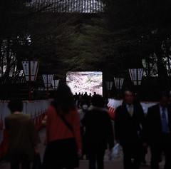 Path to Cherry (Vincentli*) Tags: 120 6x6 film japan zeiss square 120format slide 120film hasselblad sakura fujifilm carlzeiss filmphotography positivefilm hasselblad503cx