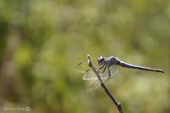 Liblula (Insecta: Odonata) (alcesterdiego) Tags: brasil fauna bahia liblula odonata ecologia semirido caetit insentos