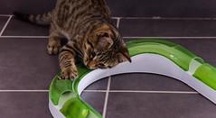 DSC_0004-1 (chat_44) Tags: cat chat animaux yoshi chaton flin miaou tigr rwing