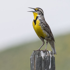 A well used perch (nickinthegarden) Tags: westernmeadowlark kelownabccanada beaverlakerd