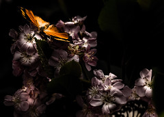 Butterfly mimetism- not like the others Macro Mondays (darynthe) Tags: nature night canon butterfly quebec montreal flight botanicgarden f28 100m 6d 2015 mimetism butterfliesgofree notliketheothers macromondays
