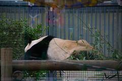 Panda (Seiya235) Tags: japan jp saitamaken warabishi