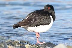 Oystercatcher (Edd Cottell) Tags: bird nature scotland wildlife oystercatcher loch mull edd haematopus ostralegus spelve cottell