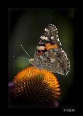 let me keep you save (allfr3d) Tags: flowers flower macro nature animal animals butterfly nikon belgium belgique belgi quotes tienen autofocus vlaanderen goetsenhoven vlaamsbrabant allfr3d