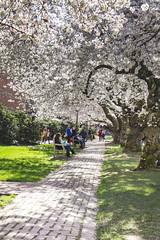 IMG_9471 (elenafrancesz) Tags: uw cherry blossoms wordless