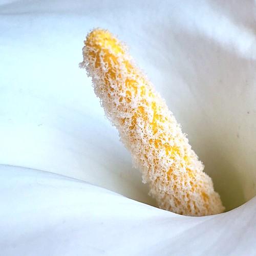 Zantedeschia aethiopica o Cal·la
