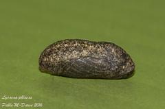 Manto Bicolor - Lycaena phlaeas  (Linnaeus, 1761) ( BlezSP) Tags: espaa butterfly mariposa canaryislands pupa larva oruga lycaenidae papilionoidea lycaenaphlaeas metamorfosis lepidopera darve garncanaria mantobicolor