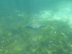 Eagle ray swiming (Figgles1) Tags: beach ray snorkel eagle stingray south snorkeling rays fremantle groyne southbeach stingrays fsc eagleray southfremantle eaglerays fremantlesailingclub p1020040