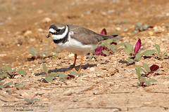 Ringed Plover (Tevaironi) Tags: bird nature wildbirds commonringedplover charadriushiaticula israelibirds holylandbirds