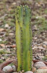 Cereus hildmannianus (alloe.) Tags: cereus