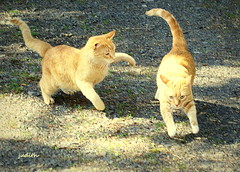 """""""Get back in the house!"""" (judecat (getting back to nature)) Tags: cats simon felines aggression redtabbies floydd"""