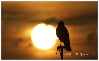 Sunset Hawk Silhouette..Red-shouldered Hawk (Buteo lineatus) RSHA - Soaking the Light.