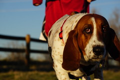 Low Dog (Let Ideas Compete) Tags: dog face eyes hound basset bassett