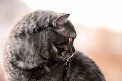 Yodabr <3 (Blochmntig) Tags: cats eye cat feline yoda smoke gatto britishshorthair catface blacksmoke cateye catposing yelloweye bkh catmoments catinpose