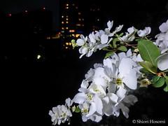Exochorda racemosa (Shiori Hosomi) Tags: flowers plants japan night tokyo nocturnal nightshot april   rosales chaenomeles 2016  rosaceae   noctuary          flowersinthenight noctivagant 23