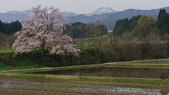 "That from ""The Cherry mukaino"" Japan's Toyama Prefecture Nanto 4 (Nobuyuki Ikeda) Tags: sky mountain japan river cherry landscape spring sony   sakura cherryblossoms toyama        nanto       nex6"