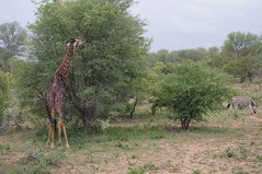Giraffe, Kruger National Park, Safari Day 2, South Africa (ARNAUD_Z_VOYAGE) Tags: africa park white game nature landscape african wildlife south capital central lion reserve unesco national zimbabwe region department rhinoceros mozambique mpumalanga kruger limpopo skukuza zululand gonarezhou