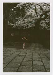 insta098 (sudoTakeshi) Tags: film japan kids tokyo child kodak  sakura cherryblossoms filmcamera portra exakta  kodakfilm carlzeiss   nezu tessar  kodakportra400 ihagee kodakportra  carlzeisstessar exaktavx1000 bicyicle exaktavx tessar50mm
