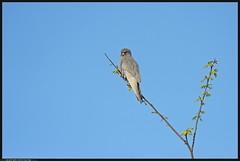 DSC_5689-04-08-1 - falco cuculo (r.zap) Tags: falcovespertinus parcodelticino falcocuculo rzap cornarina